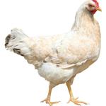 雑談:I am chicken! (にんげんだもの)